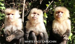 White Face Capuchin